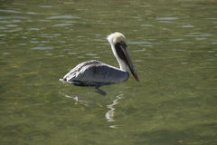 Bworn Pelican Floating. A Brown Pelican floating in the water Stock Photography