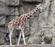był baringo afryce Angoli Botswany może znaleźć bałkanów Zimbabwe wschodzie żyrafa Namibia Zdjęcia Royalty Free