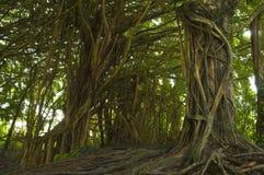 Byanma trädskog Arkivfoton