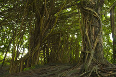 Banyan tree forest. Tropical forest of banyan trees on a Big Island of Hawaii Stock Photos