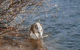 Byczy psi bieg i bawić się Obrazy Royalty Free