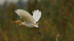 Bydła Egret w lęgowym upierzeniu - Zdejmuje obraz royalty free