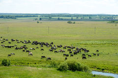 Bydła łasowania trawa w łące Zdjęcia Stock