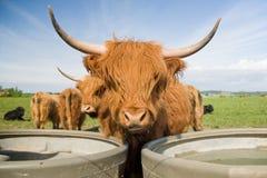 bydła średniogórze Fotografia Royalty Free