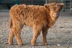 bydła średniogórze fotografia stock