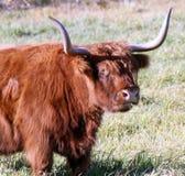 bydła średniogórze Zdjęcie Royalty Free