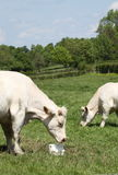 bydła charolais krowy łasowania liźnięcie Fotografia Royalty Free