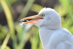 Bydła egret obrazy royalty free