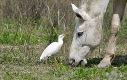 Bydła egret Zdjęcie Royalty Free
