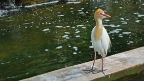 Bydła egret zbiory wideo