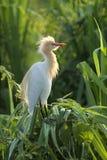 Bydła egret obsiadanie na śrubowej sosny krzaku Zdjęcie Royalty Free
