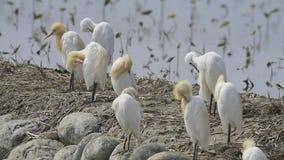 Bydła Egret preening (Tajwańscy ptaki) zbiory
