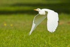 Bydła egret przybycie w ziemię Zdjęcia Royalty Free