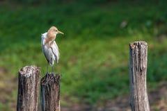 Bydła Egret, umieszczający na drewnianym słupie w zielonym tle Obrazy Stock