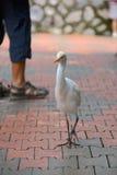 Bydła Egret w mieście Fotografia Royalty Free