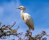 Bydła egret w Montagu, Południowa Afryka Obrazy Royalty Free
