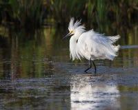 Bydła egret w pełnym lęgowym upierzeniu Zdjęcie Stock