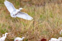Bydła Egret z brudnymi ciekami obraz royalty free