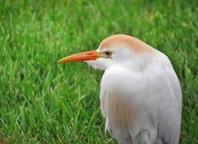 Bydła Egret zbliżenia profilu portret Zdjęcie Royalty Free
