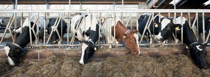bydła karmienie Zdjęcia Stock