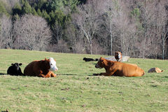 Bydła odpoczywać Obraz Royalty Free