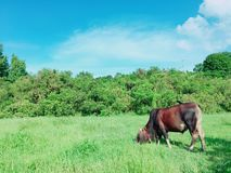 Bydła pasanie w łące Fotografia Stock