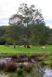 Bydła pasanie w bogatym zielonym paśniku zdjęcia royalty free