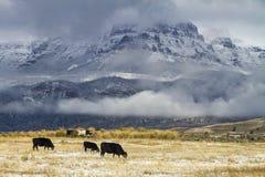 Bydła pasanie w Wyoming polu z śniegiem zdjęcie royalty free