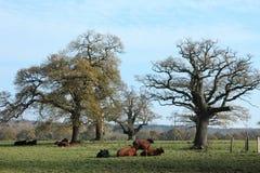 Bydła stado w Reinhard lesie Fotografia Stock