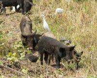 Bydło świnia i egret Zdjęcie Royalty Free