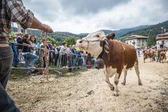 Bydło konkurs przy Brembana doliną i wystawa, Serina, Bergamo, Lombardia Włochy Krowa rewolucjonistka dostrzegający konkurs Fotografia Stock