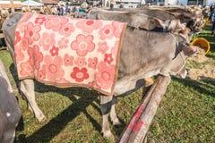 Bydło konkurs przy Brembana doliną i wystawa, Serina, Bergamo, Lombardia Włochy Włoska brown krowa Zdjęcia Royalty Free