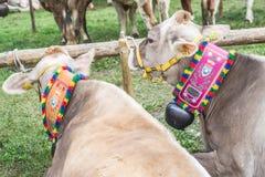 Bydło konkurs przy Brembana doliną i wystawa, Serina, Bergamo, Lombardia Włochy Włoska brown krowa Fotografia Royalty Free