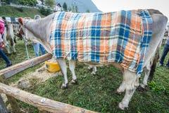 Bydło konkurs przy Brembana doliną i wystawa, Serina, Bergamo, Lombardia Włochy Włoska brown krowa Obraz Stock