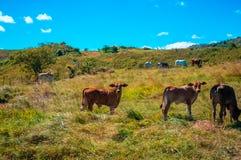Bydło pasa, słoneczny dzień, w obszarze wiejskim zdjęcie stock