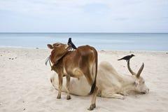 Bydło w Uppuveli plaży, Sri Lanka Obrazy Stock
