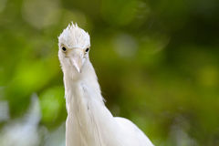 bydła egret Obrazy Stock