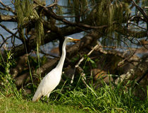 Bydła egret Fotografia Stock