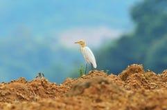 Bydła egret Fotografia Royalty Free