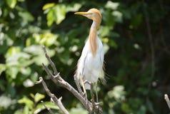 Bydła Egret, India Zdjęcie Stock