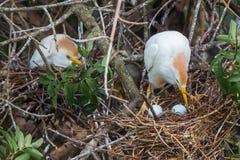 Bydła Egret jajka Fotografia Stock