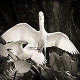 Byd?a egret koperczaki pokaz fotografia royalty free