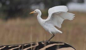 Bydła Egret na zebrie Zdjęcia Royalty Free