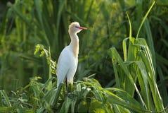 Bydła egret obsiadanie na screwpine krzaku Zdjęcia Royalty Free
