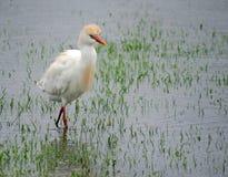 Bydła Egret odprowadzenie w wodzie Obrazy Stock