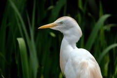 Bydła egret portret obrazy royalty free
