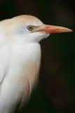 bydła egret portret Fotografia Royalty Free