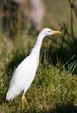 bydła egret trawa Obrazy Stock