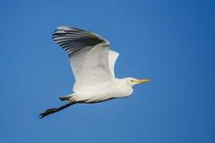 Bydła Egret Upwing Zdjęcie Stock