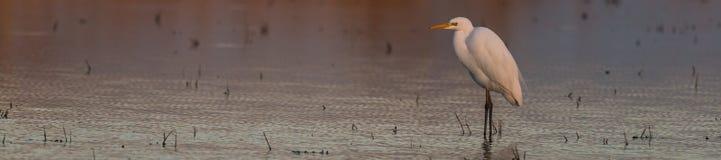 Bydła egret w jeziorze Zdjęcia Royalty Free